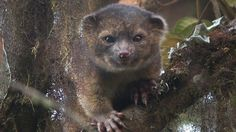Olinguito, new species - For the first time in 35 years, a new mammal species has been recorded living in the Western Hemisphere. This adorable creature is called the Olinguito, a relative of a raccoon that's got a teddy bear-like face and a body about the size of a house cat.