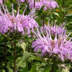 50+ Mintleaf Bee Balm Herb Seeds , Under The Sun Seeds