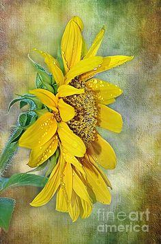 """""""Sun Shower On Sunflower' by Kaye Menner   http://fineartamerica.com/featured/sun-shower-on-sunflower-kaye-menner.html"""
