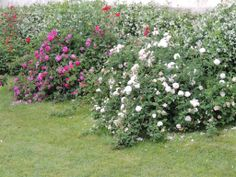 amazing old roses :)
