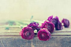Like Royalty (Purple Ranunculus) by Laura Ruth  Fresh Flower Photography