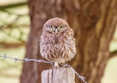 smallest Owl in the Netherlands - 21-23 cm
