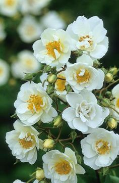 www.Sarahraven.com Save ££££'s and grow your own wedding flowers for a fraction of the cost. Love these rambling roses