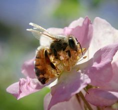 By Kathleen Mierzejewski When it comes to your flowers, you should know that honeybee pollination is so important. You will definitely want to plant flowers that attract bees because attracting bees will ensure that your flowers will grow and multiply. The bees pollinate the flowers and make them grow. This is so very important to…