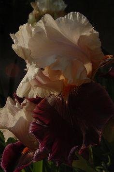 """Luoghi: esperienze di giardino e di paesaggio: Iris """"Piper's Flute"""""""