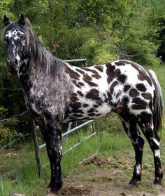 Appy indian horse Appaloosa horse equine native american pony leopard blanket spotted snow cap:
