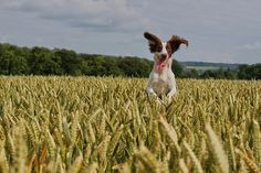 They don't call them Springers for nothing, by Warren Keep    Warren is an amateur photographer who loves taking pictures of his dog, Ella, playing in the fields