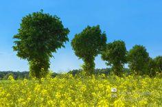 nice Fotografie »Baumallee mit Rapsfeld«,  #Naturansichten