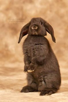 Looks just like my chocolate holland lop bunny punkin! Baby Bunnies, Cute Bunny, Bunny Rabbits, Bunny Bunny, Easter Bunny, Animals And Pets, Baby Animals, Cute Animals, Holland Lop Bunnies