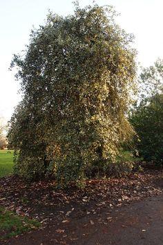 Ilex aquifolium 'Argentea Marginata Pendula', pictured at the Royal Botanic Gardens, Kew. Coastal Gardens, Variegated Plants, Tall Plants, Winter Garden, Winter Time, Surrey, Botanical Gardens, Gardening Tips, The Good Place