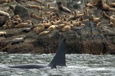 Killer whales are a type of dolphin, a group of specialized toothed whales.  Photo: Lance Barrett/Courtesy of NOAA