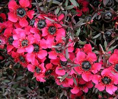Western Australian Flowers - Myrtle by Georgie Sharp, via Flickr I love these shrubs.