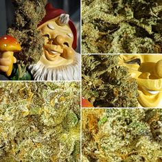 Metro the #ganja #gnome .  Bringing the fruits of nature to a bowl near you.  #potheals