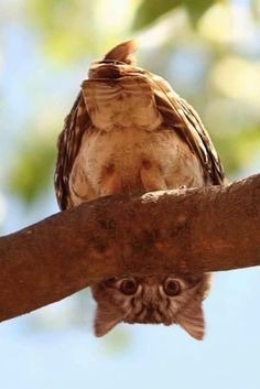 owl owls bird birds wildlife animal animals photography - The world's most private search engine Nature Animals, Animals And Pets, Baby Animals, Funny Animals, Cute Animals, Beautiful Owl, Animals Beautiful, Beautiful Pictures, Funny Owls