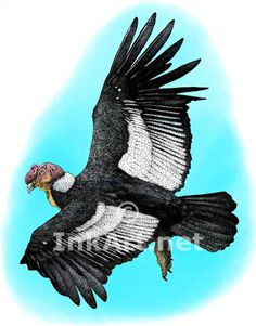 Full color illustration of an Andean Condor (Vultur gryphus)