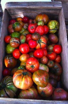 Heirloom Tomatos!