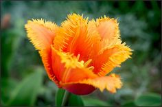 Tulip Fringed Lambada | Fringed Tulip Bulbs | Tulip Lambada | Red and Yellow…
