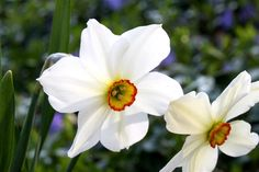 """DECEMBER birth month flower: Narcissus. Although the name is associated with self-centeredness, the flower itself bears traditional meanings of beauty, rebirth, hope, """"you're the only one,"""" and """"stay as sweet as you are."""" Narcissus poeticus Image - Michigan Flora"""