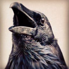 A close call. #ravens #corvus #birds