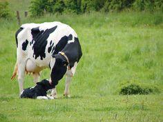 Moederliefde. Meer over koetjes en kalfjes? Ga naar: http://www.milkstory.nl/artikel/vraag-antwoord-waarom-worden-kalf-en-koe-na-de-geboorte-gescheiden   #Calf #Kalf #Sweet #Love #Animal #dier #Koe