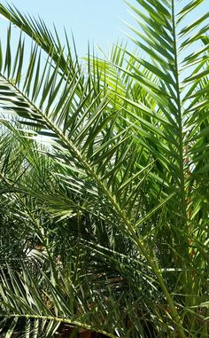 Canary Island Date Palm - Phoenix canariensis - Slow growing palm to 20 x 16 feet or more but rapidly achieves width. Also known as a Pineapple Palm. Will take poor soil and is drought tolerant. Water deeply and infrequently once established. Fertilize with Dr. Q's Palm Tree Food 2-3 times from May to September. Dig In, Grow Green!: Palms in the Desert