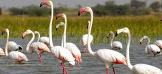 The bird sanctuaries in Gujarat are known for their beauty and we've decided to show you the popular bird sanctuaries across Gujarat. Bird sanctuaries in Gujarat are therefore a hot spot for personality lovers. which includes some bird sanctuaries like Gaga Birds Sanctuary, Khijadia Bird Sanctuary, Kutch Bustard Sanctuary and etc.  #Top #Best #Popular #List #Tourism #holiday #Gujarat #BirdSancturies #GagaBirdsSanctuary
