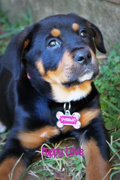 Rottweiler Love, Rottweiler Puppies, I Love Dogs, Puppy Love, Search And Rescue Dogs, Rottweilers, Beautiful Creatures, Best Dogs, Fur Babies