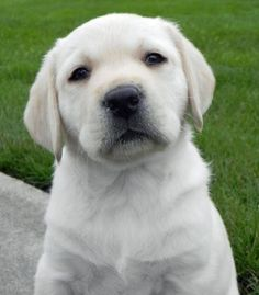 Labrador Retriever mmbizon