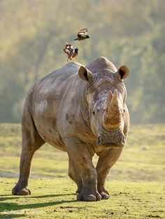 Experts predict rhinos to be extinct by the year 2025 if current trends continue. #endangered