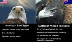 American Bald Eagle VS Australian Wedge Tail Eagle See more Funny pictures Be sure to share this post with your friends on social media before you Australian Memes, Aussie Memes, Australian Tumblr, Animal Memes, Funny Animals, Animal Funnies, Weird Facts, Fun Facts, Crazy Facts