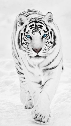 A White Tiger iPhone 5 Wallpapers