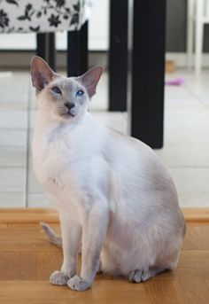 Chocolate Point Siamese Cats Siamese cats, Siamese