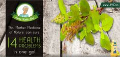 #DidYouKnow  This 'Mother Medicine of Nature' can cure 14 Health Problems in one go!  1 Just chew on it. One can reap maximum benefits from tulsi leaves when chewed raw.   2 Treat cold and cough naturally. Tulsi has germicidal properties and acts as which helps in protecting the body from various types of viral infections.