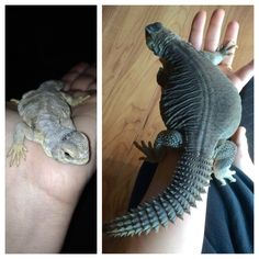 Egyptian uromastyx from hatchling to yearling Types Of Animals, Animals Of The World, Animals And Pets, Bearded Dragon Cage, Bearded Dragon Habitat, Cute Reptiles, Reptiles And Amphibians, Uromastyx Lizard, Savannah Monitor