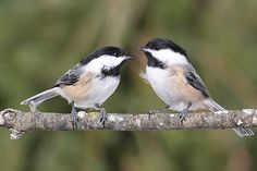 Chickadee Facts, Information, Pictures & Bird Feeding Tips