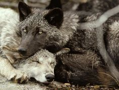Wolves cuddling luv this ssssssooooo much I want to keep one in my basement and train him to be nice and not hurt anyone, but how to sneek them in without mom or dad seeing