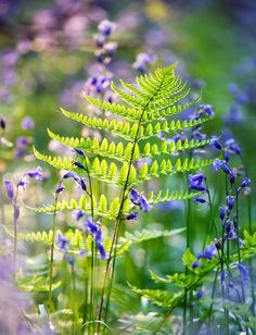 Feb 2020 - Chronicles of a Love Affair with Nature — Fern and Bluebells, Cowdray Forest by Alan. Shade Garden, Garden Plants, Woodland Garden, All Nature, Walk In The Woods, Dream Garden, Wild Flowers, Paper Flowers, Planting Flowers