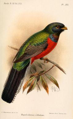 Bar-tailed Trogon (Apaloderma vittatum) - Catalogue of the Birds in the British Museum