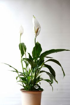 This peace lily needs little sunlight and purifies the air.