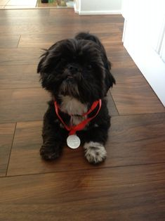 Shih tzu black and white Bella with her medal