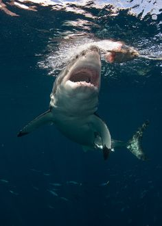 the-shark-blog: Guadalupe Great White Sharks by helenbrierley