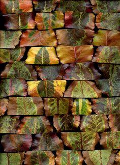 36204 Pyrus calleryana by horticultural art, via Flickr