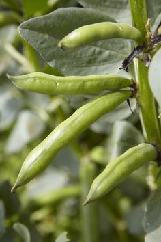 How to easily grow broad beans