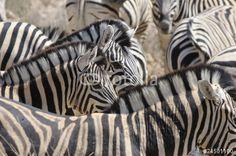 Photo: Zebraherde am Wasserloch, Etoscha, Namibia, Afrika