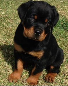 Cute Baby Dogs, Cute Little Puppies, Cute Dogs And Puppies, Baby Puppies, Cute Baby Animals, Pitbull Dog Puppy, Rottweiler Puppies, Malinois, Beautiful Dogs