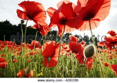 Image result for poppies underside photography