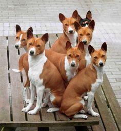 Information About The Basenji Dog Breed