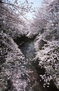 Sakura plot in Japan