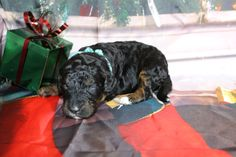 All our puppies come with a two year health guarantee, micro-chipped, dew clawed, all shots and wormings for their age. Doodles, Nursery, Puppies, Mini, Animals, Animais, Animales, Animaux, Baby Rooms