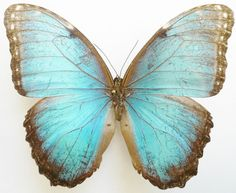 Morpho Butterfly (Helenor Packeri Male Species, Zulia, Venezuela Insect Collection)